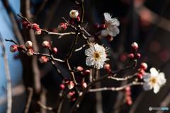 梅の花が咲きました。 2