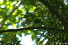 何とか撮れたサンコウチョウ 1