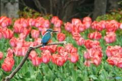 カワセミと春の花 1