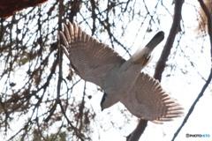 林の中を飛ぶオオタカ 2