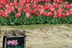 カワセミと春の花 3