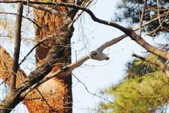 林の中を飛ぶオオタカ 3