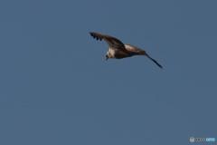 コミミフィールドをチュウヒの幼鳥が飛ぶ