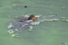 沼の食物連鎖 5 ウチワトンボを食事中