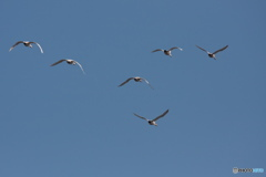 コミミフィールドを白鳥が飛ぶ