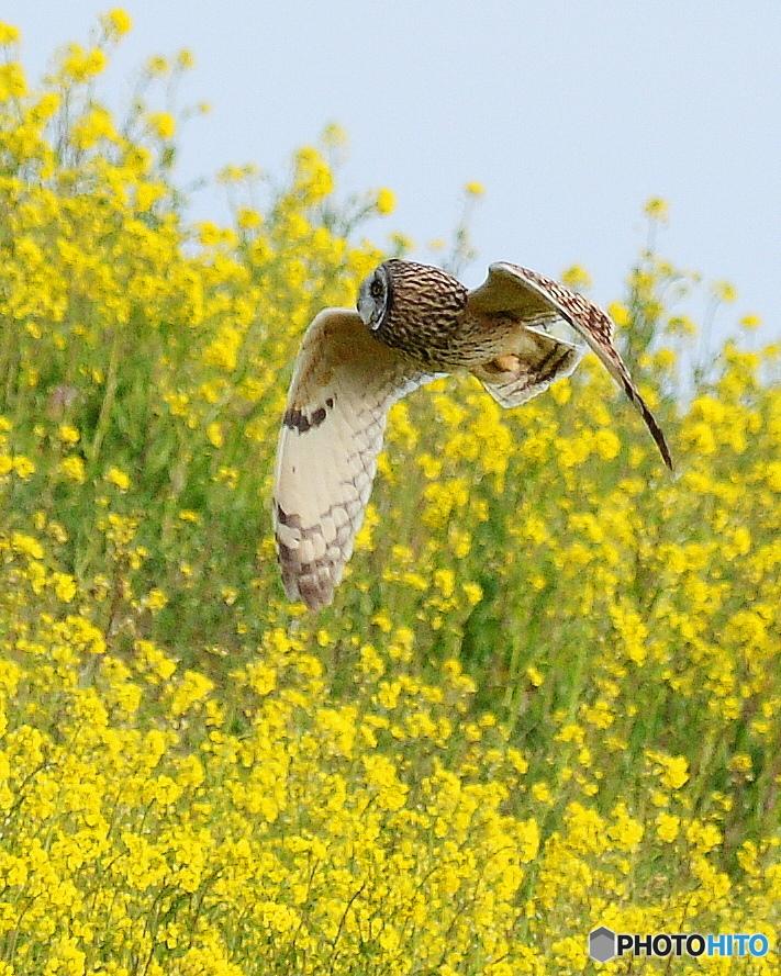 菜の花の土手を飛ぶ1
