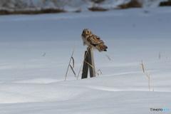 雪原のコミミ 3