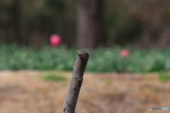 チューリップが背景の止まり木