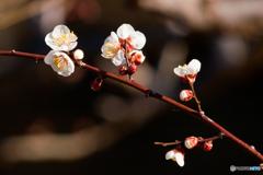 梅の花が咲きました。 1