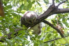 フクロウ雛 寝た
