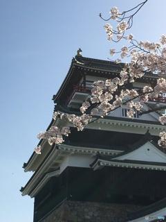清洲城と桜
