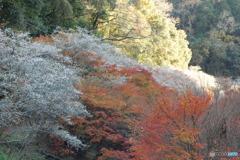 紅葉と四季桜Ⅳ