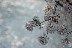 春と桜とせせらぎと