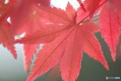 秋を透かして