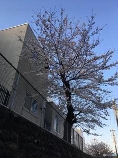 学び舎と桜