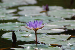 スイレンの池‐Ⅱ