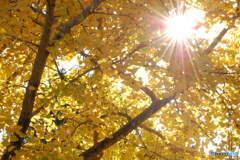 銀杏の輝き