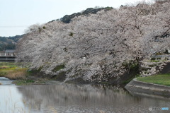 やっぱ桜でしょう