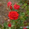 薔薇・紅姫