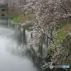 岡崎城の桜