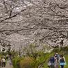 江川せせらぎ緑道 桜満開