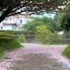 町田市境川サイクリングロードの桜