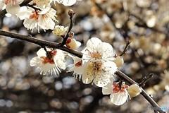梅の咲始め尾張一宮1