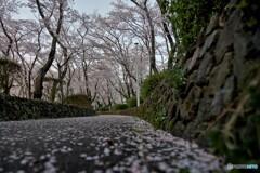 桜の季節_