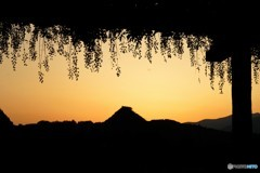 夕陽と藤棚