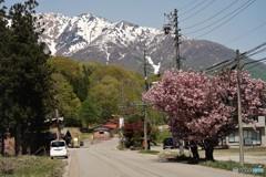 雪山と八重桜