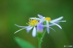 柔らかな花びら