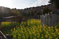fiori di colza …春の装い2018