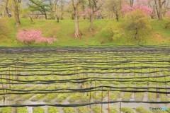 春の大王わさび農場