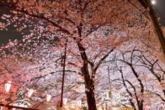目黒川の夜桜2