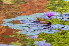 印象派・睡蓮の池♪