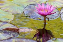印象派・睡蓮の池♬