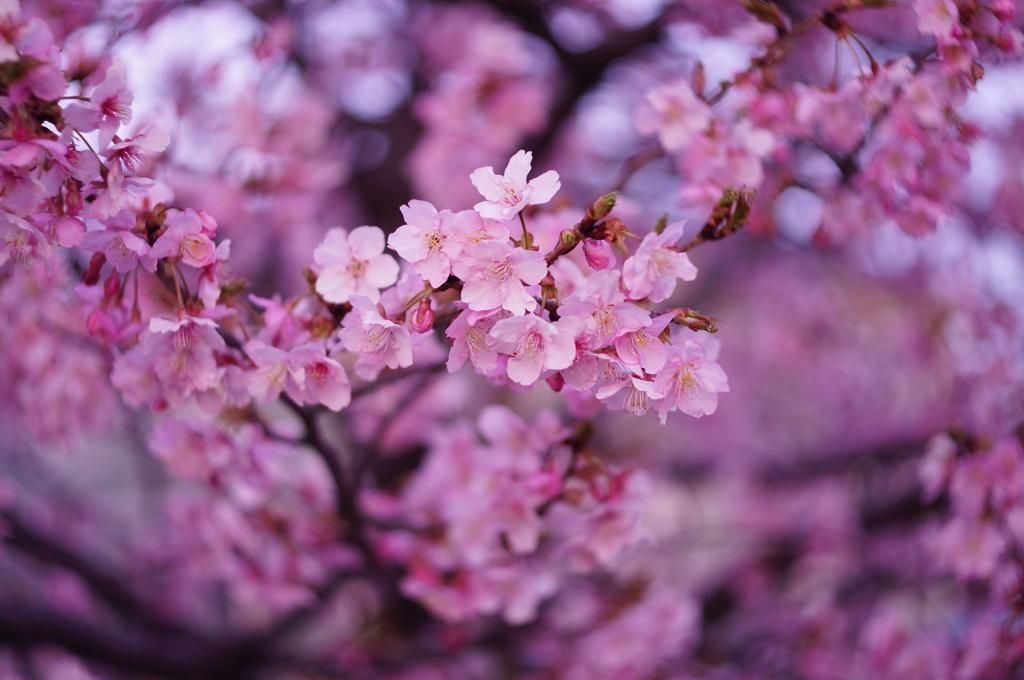 2021年の河津桜
