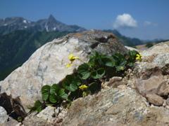 稜線の花、木花の駒の爪