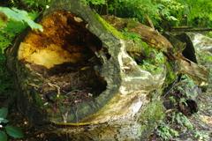 伐採された木 3