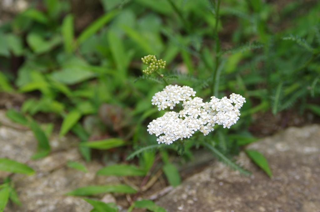 ハーブ園に咲いた花