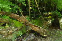 伐採された木 4