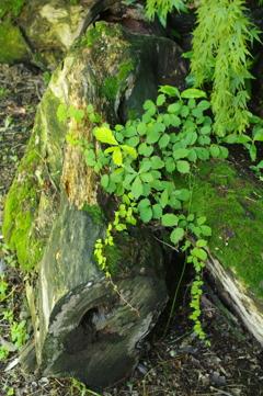 伐採された木 2