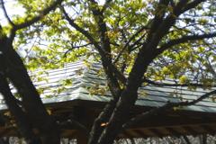 東屋の屋根と熱海桜