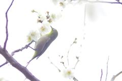 ウメジロウ 2