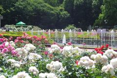 薔薇と噴水