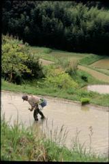 田植え(2000年5月)2