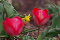 公園の花達 6〈黄水仙)