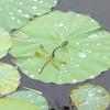 ギンヤンマと蓮の葉
