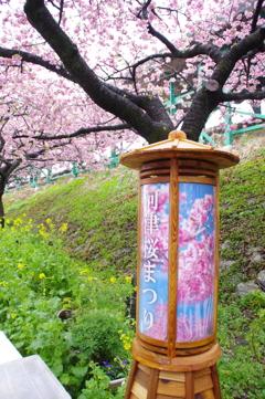 河津桜」まつり