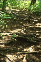 木の根が右往左往
